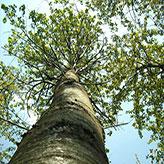 GdL SISEF: Arboricoltura da Legno